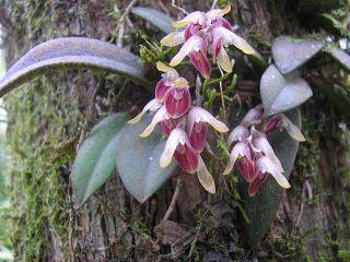 Acianthera recurva growing as an epiphyte