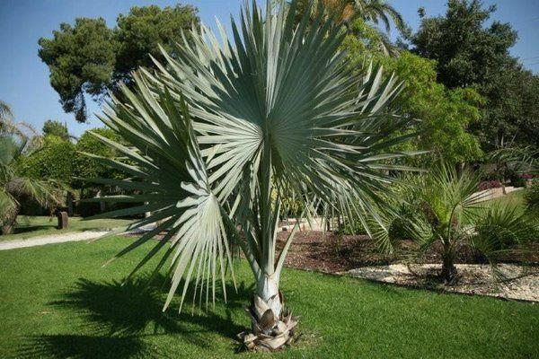 Tipos de palmas caracter sticas de la bismarckia for Palmeras pequenas para jardin