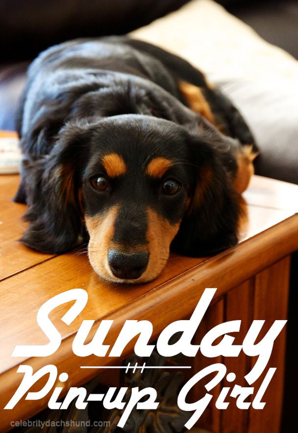 Pin by Jacobsen on Dachshunds Crusoe the celebrity