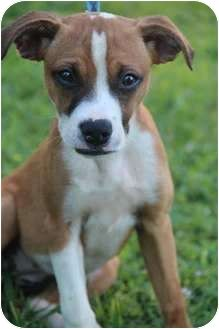 boxer jack russell terrier mix