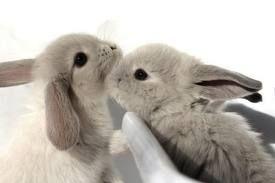 Gray bunnies