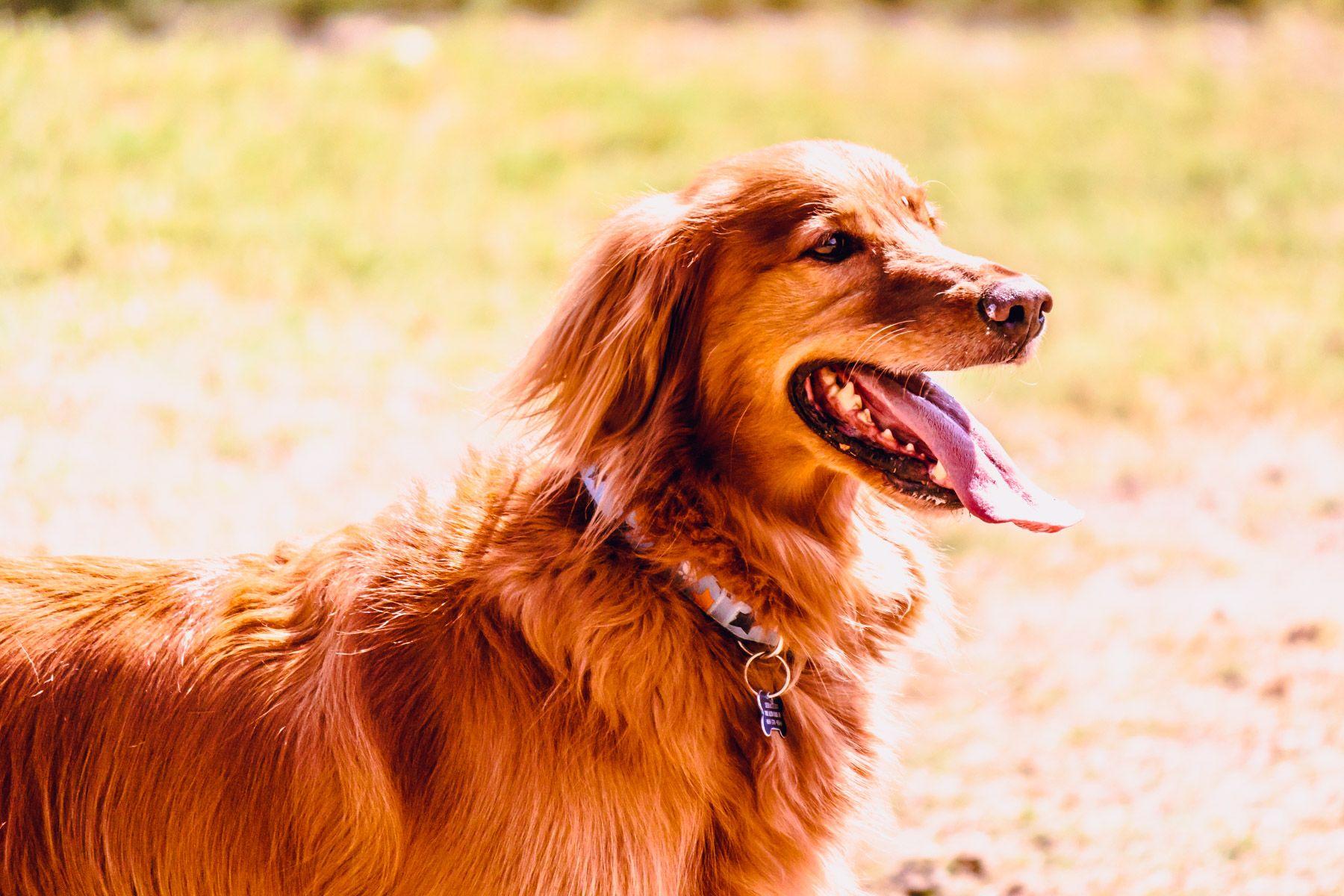Golden girl golden girl golden retriever dog park