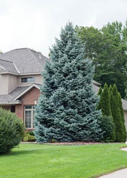 Spruce colorado blue spruce landscape pinterest blue spruce gardens and plants for Earl may nursery garden center