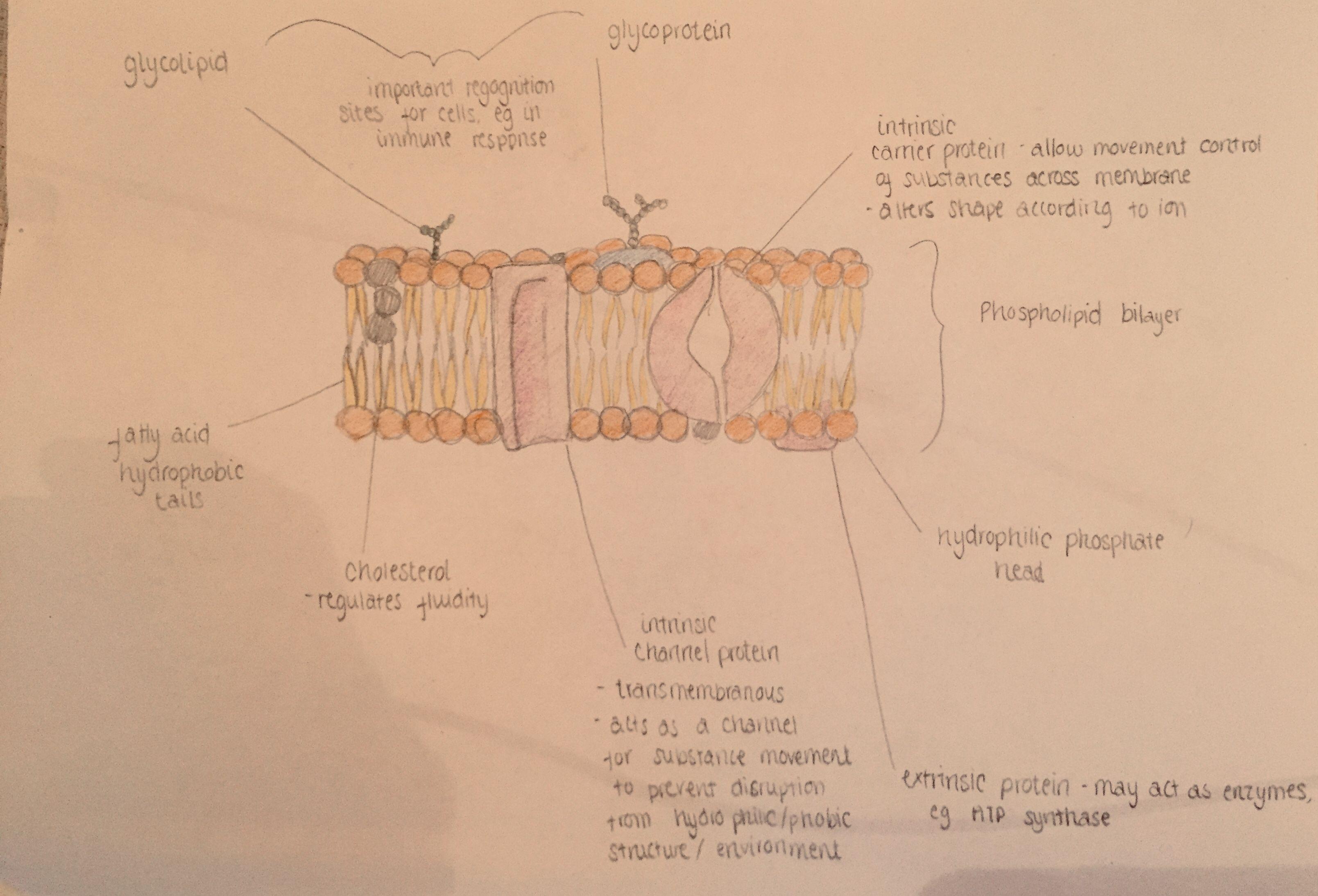 Basic Structure Of Phospholipid Bilayer School Organization Notes Biology Notes Nursing Notes [ 2188 x 3218 Pixel ]