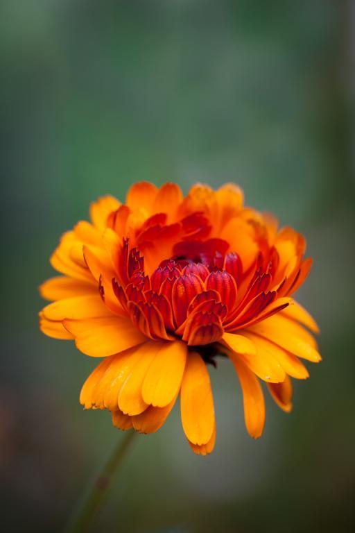 Calendula officinalis, 'Indian Prince' Seeds £1.95 from
