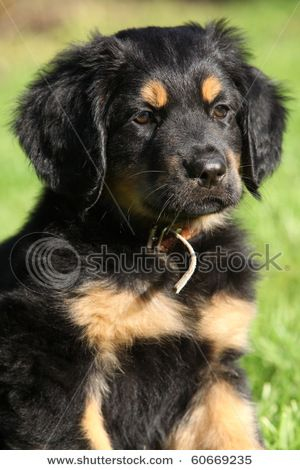 Hovawart Puppy So Cute Looks Like A Golden Retriever But With