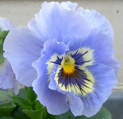 Discovered On Imgfave Com Pansies Flowers Pretty Flowers Amazing Flowers