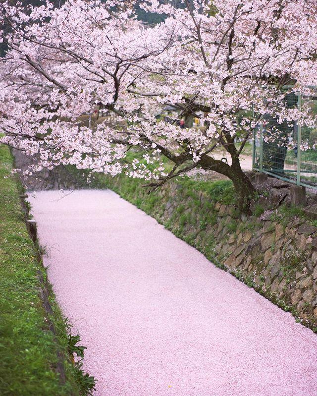 Mitsu On Instagram Pink Flow Sakura Flower Blossom Stream Flow River Petal Beautiful Scenery Pictures Fantasy Inspiration Instagram Posts