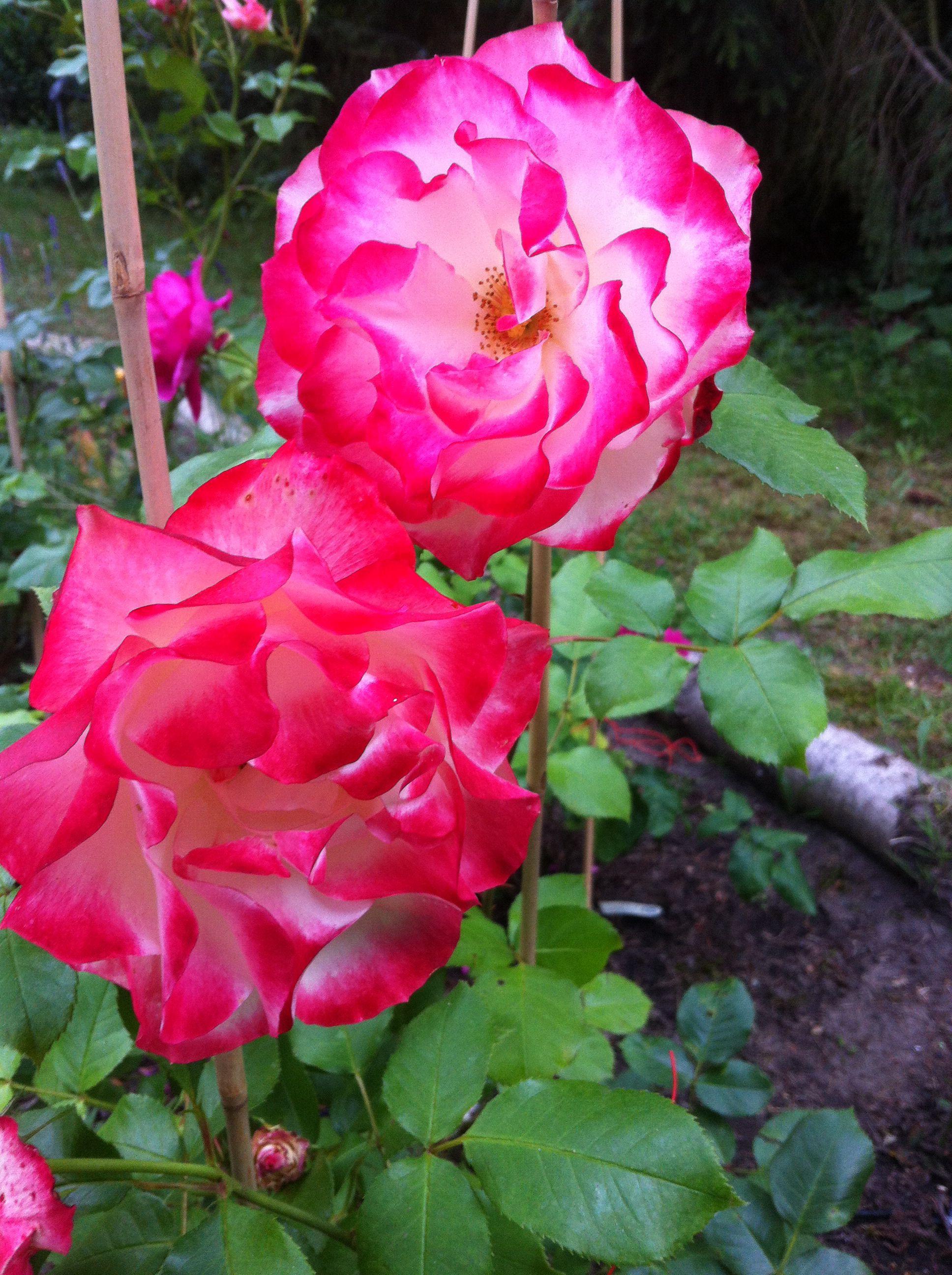 Prinz von Monaco Rose meilland