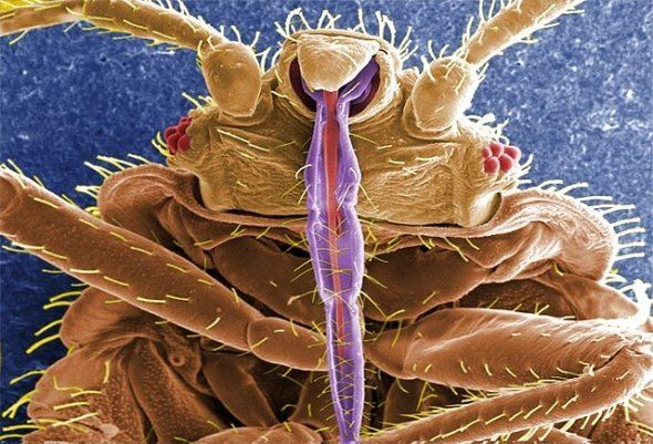 Bed Bug Identification Bed Bugs Rid Of Bed Bugs Bed Bug Bites