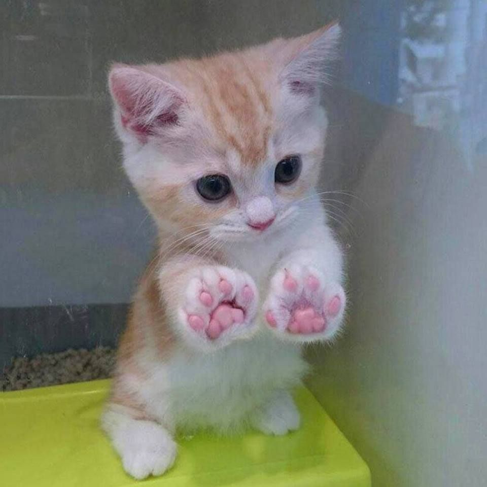 Just Look At My Jellybean Toes R Aww Cute Cats Cute Baby Animals Cute Animals