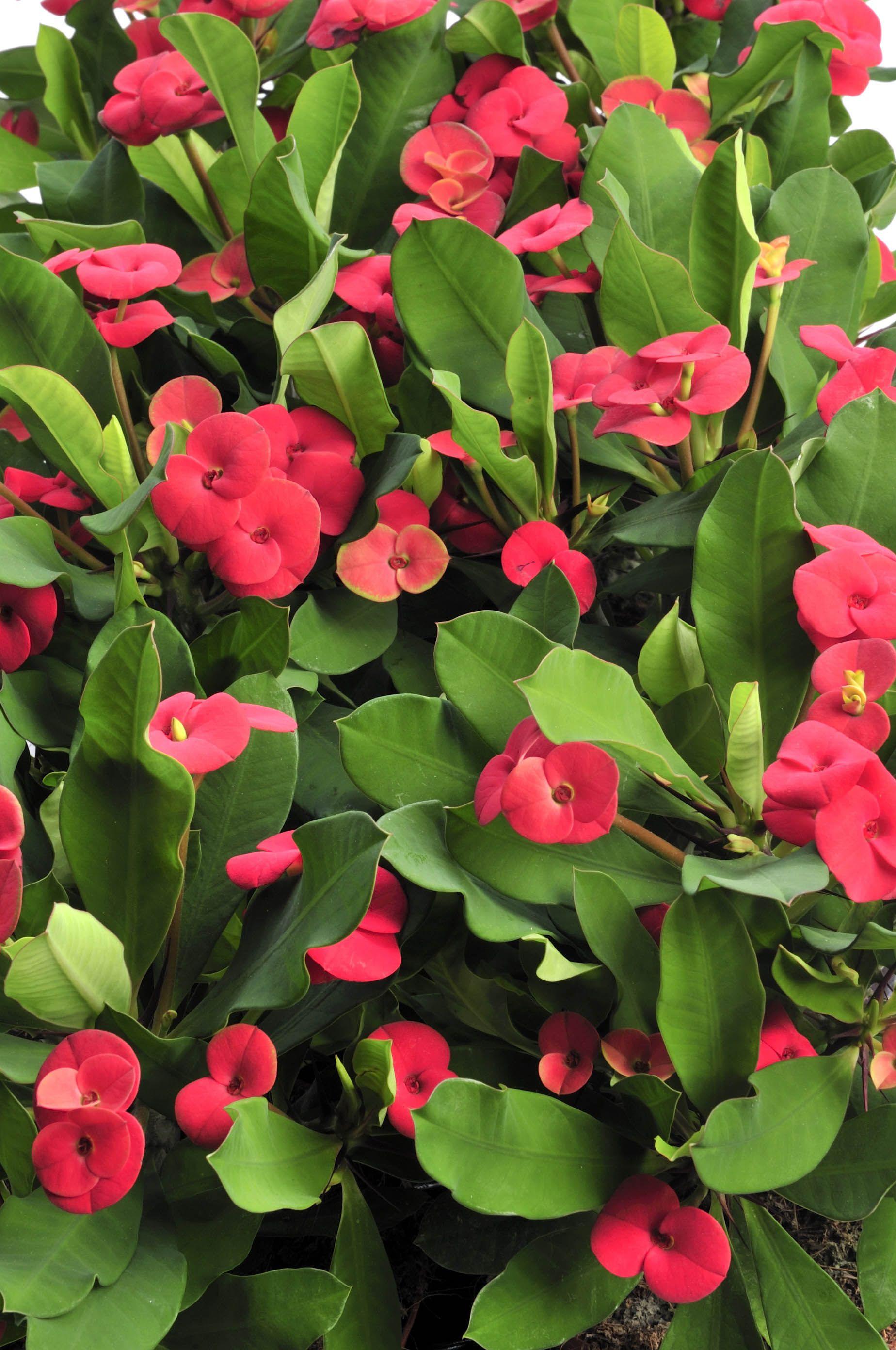Euphorbia Milii Euphorbia Milii Giardino Di Fiori E Piante Di Casa