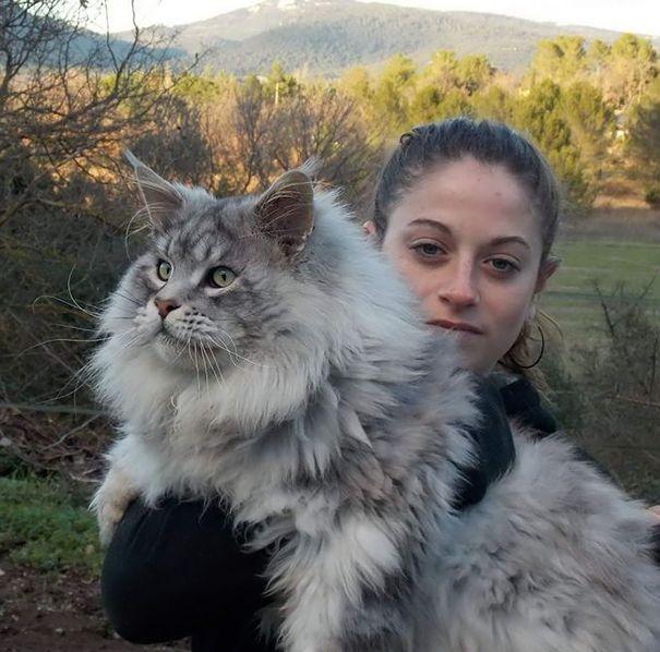 Le chat dit« Maine Coon » est une race de chat à poils mi-longs, originaire de l'État du Maine, aux États-Unis. Ce chat au physique rustique a pour caractéristiques une grande taille, un museau carré et ...