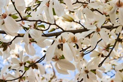 How to identify a white flowering tree magnolia trees white white flowering magnolia branch love it mightylinksfo