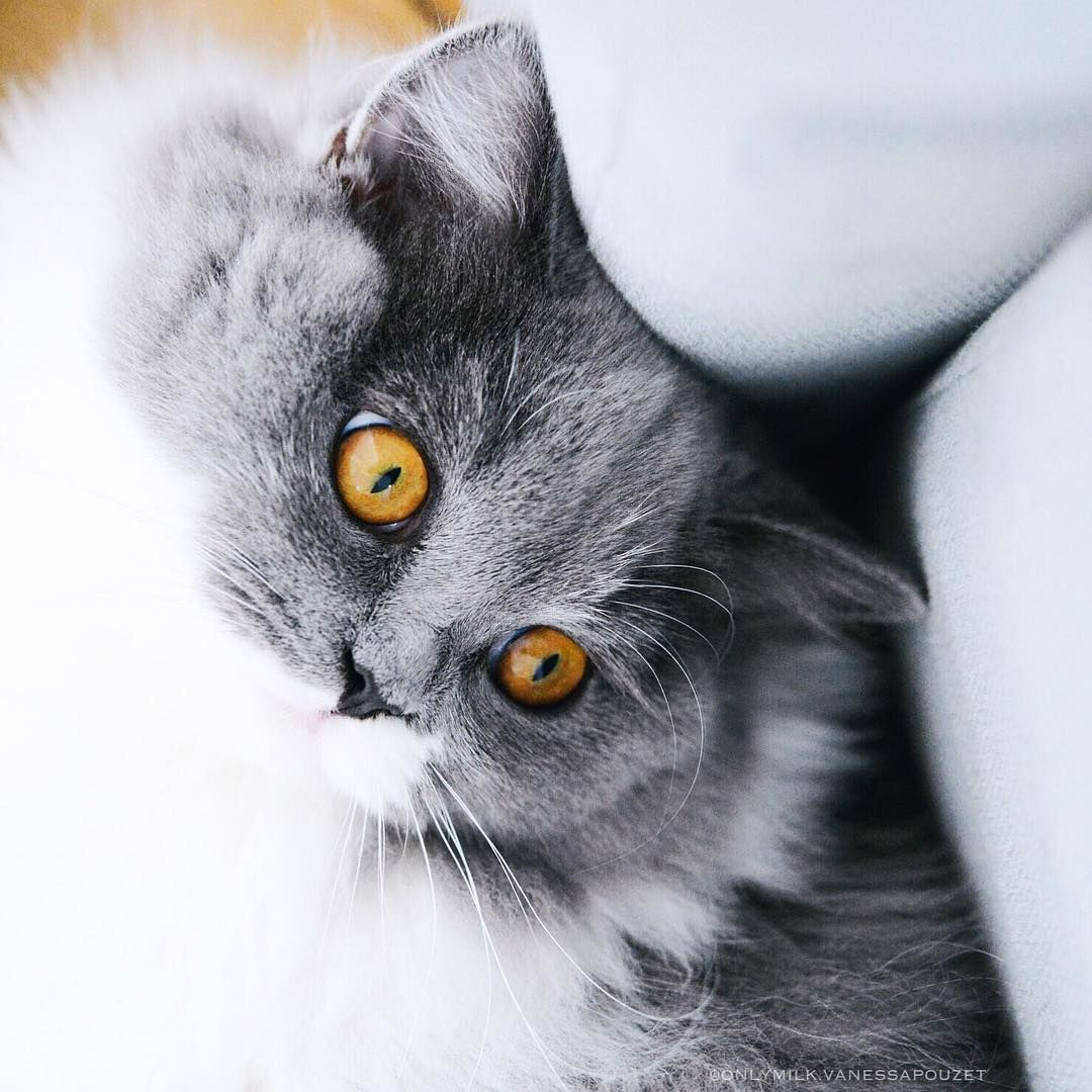 CLICK HERE FOR MORE IMAGES ONLY MILK. British Longhair