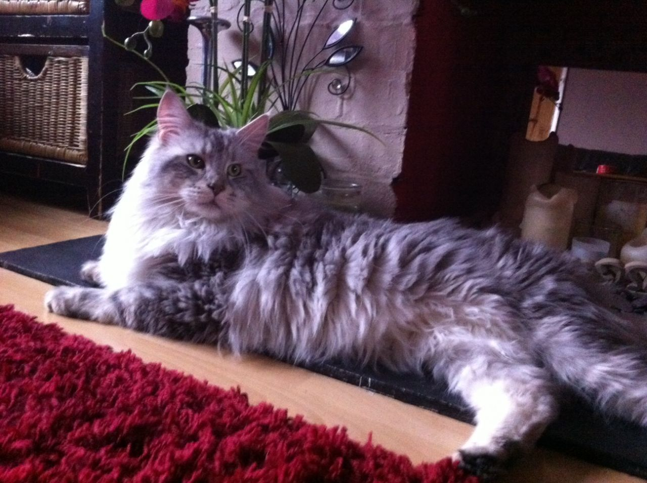 Very Silver tabby Maine Coon for Stud