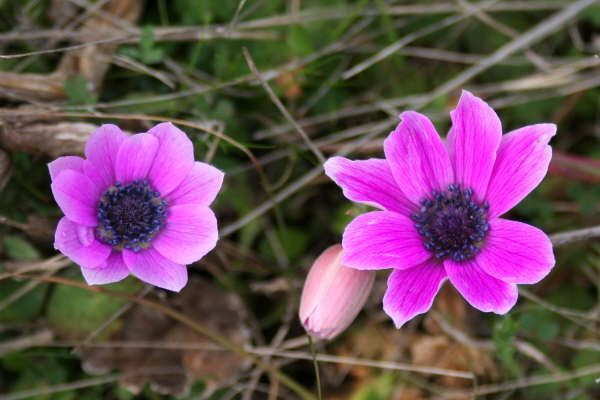 Flora From The Countryside Around Athens Greece Anemone Flower Flowers Flora