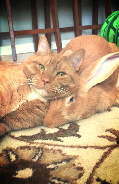 Wallace, a Flemish giant rabbit, proves that a pet can be