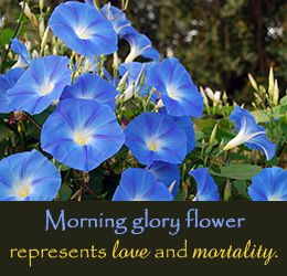 What Does The Morning Glory Flower Represent Bahcecilik