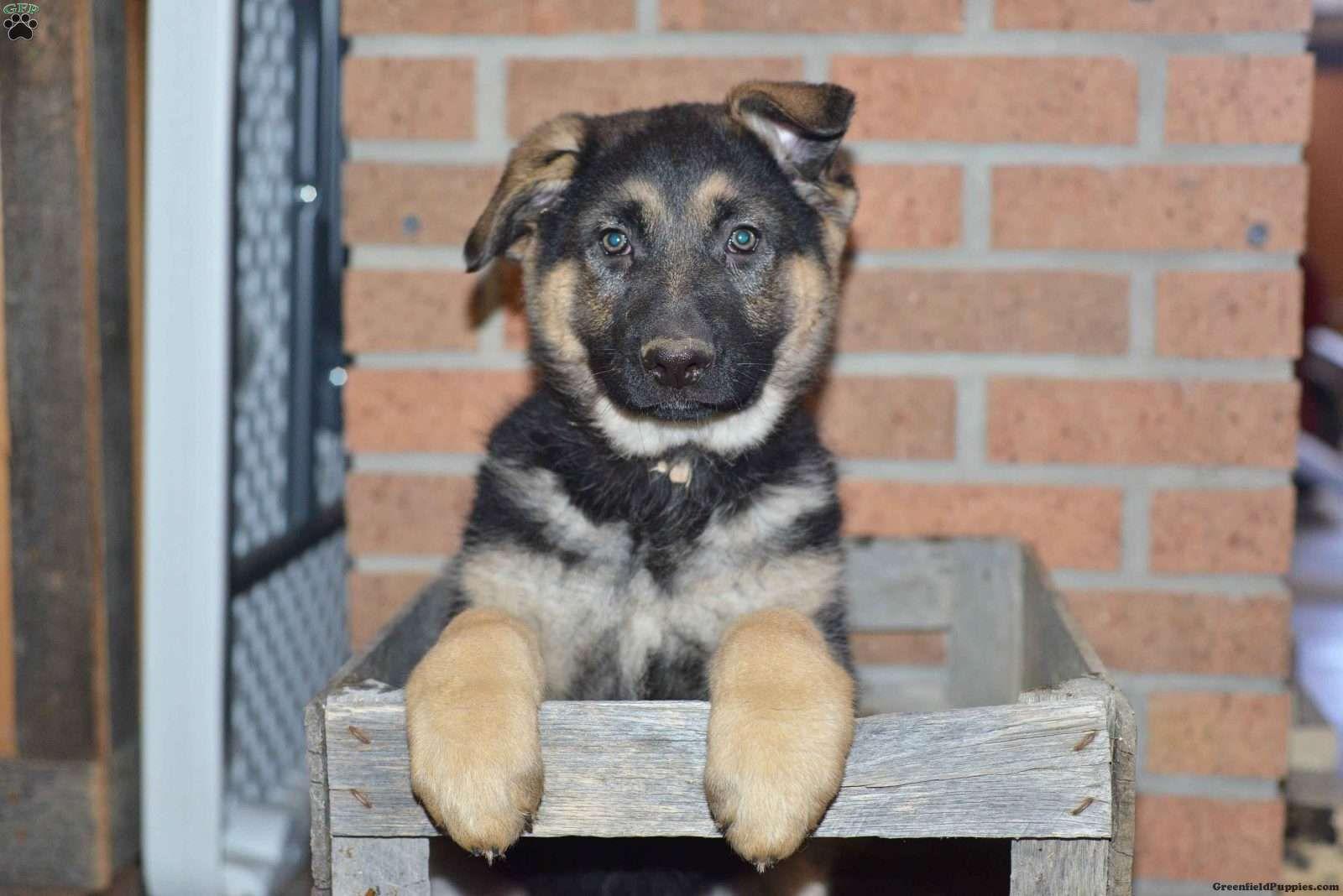 Riley German Shepherd Puppy For Sale in Ohio German