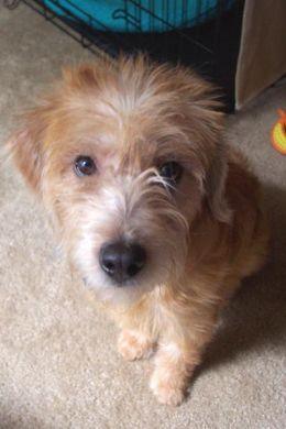Poogle Poodle Beagle Mix Facts Temperament Puppies Pictures