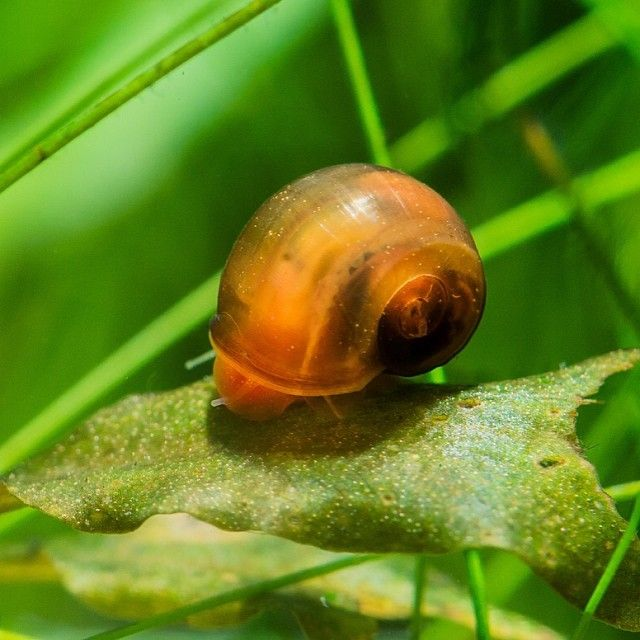 Ramshorn snail ramshorn snails pinterest snail for Garden pond snails