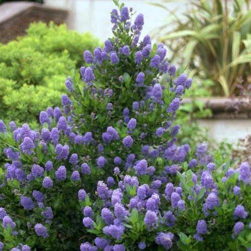 achat ceanothus c anothe skylark jeune plante en godet c anothe skylark est un arbuste feuillage. Black Bedroom Furniture Sets. Home Design Ideas