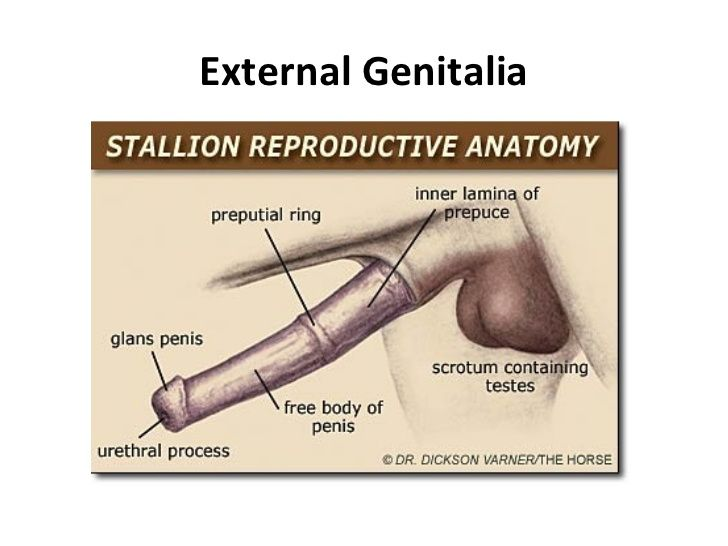 Stallion Anatomy and Physiology | The Male Equine Reproductive ...