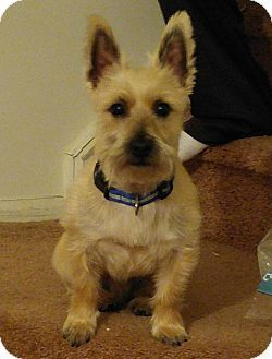 New Jersey Nj Cairn Terrier Mix Meet Riley Bordentown Nj A