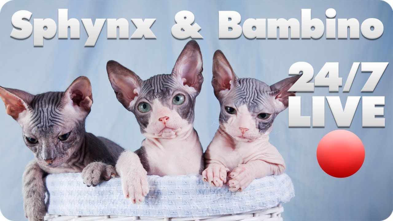 Sphynx and Bambino Kitten Cam Live Animal Cams