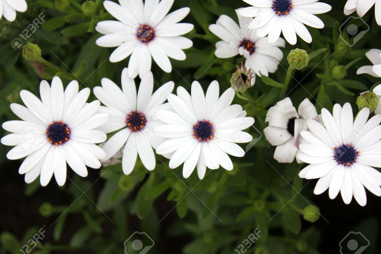 27350340-Cape-Marguerite-white-Daisybush-Osteospermum-ecklonis-Asteraceae-Low-shrubby-plant-with-daisy-like-w-Stock-Photo.jpg 1.300×866 pixel