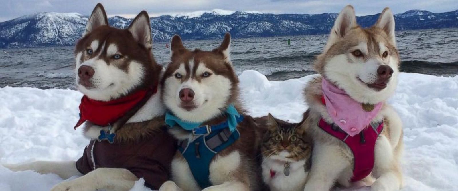 3 Huskies Adopt Cat Best Friend Into Their Pack Funny Animals