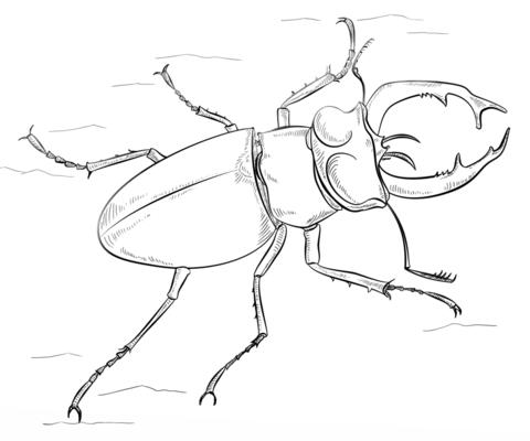 Escarabajo negro macho del oeste Dibujo para colorear. Categorías ...