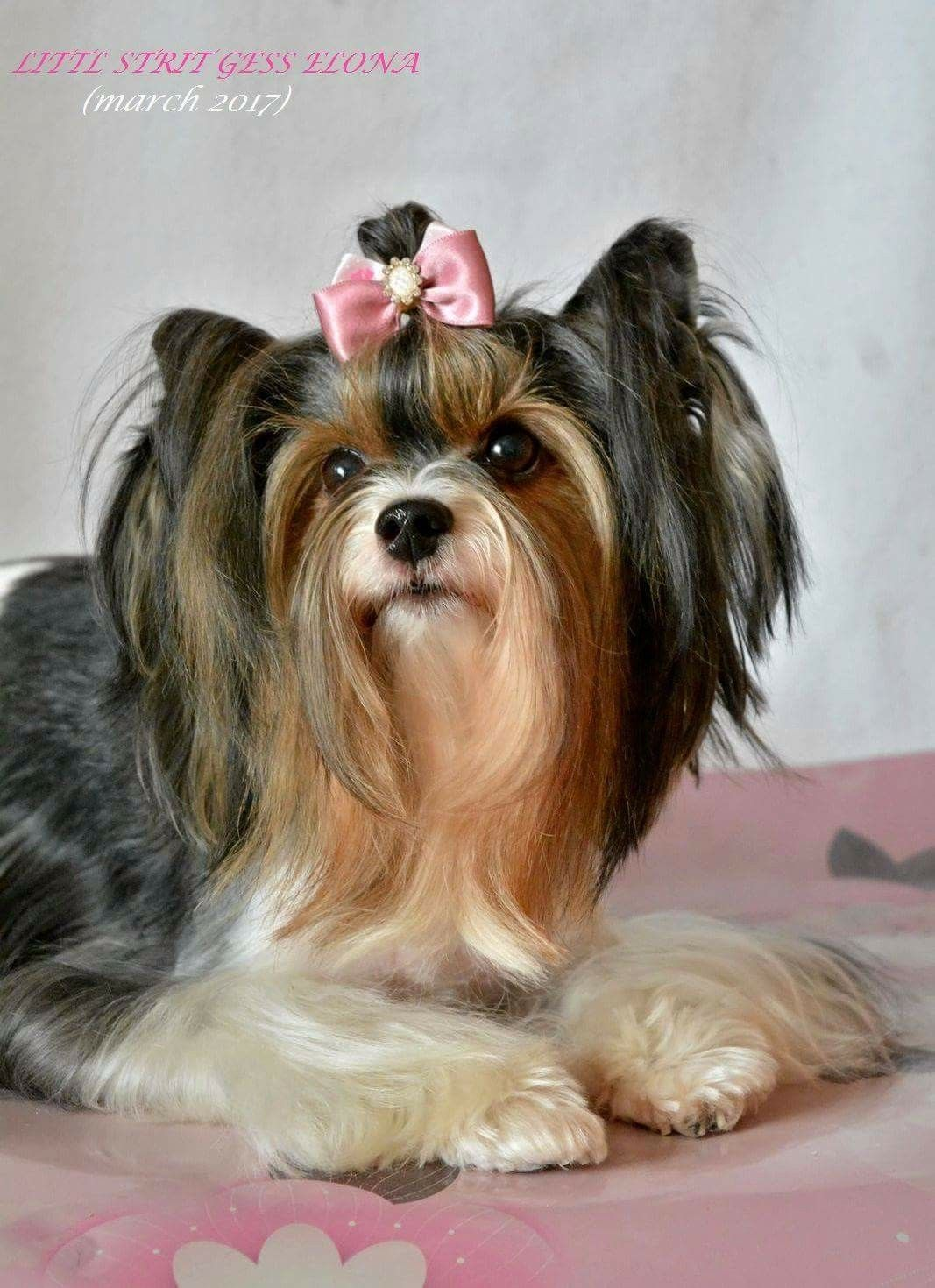 Pin By Melody Gayman On Cutest Yorkshire Terrier Cute Puppies