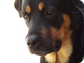 Warren, MI - Rottweiler/Bernese Mountain Dog Mix. Meet Ezekiel, a dog for adoption. http://www.adoptapet.com/pet/11410610-warren-michigan-rottweiler-mix