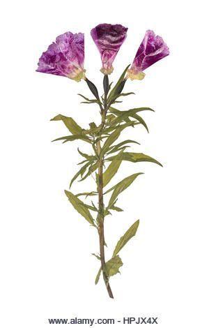 Getrocknete und gepresste Blumen. Herbarium jener lila Blüten. Godetia Schaumkr…
