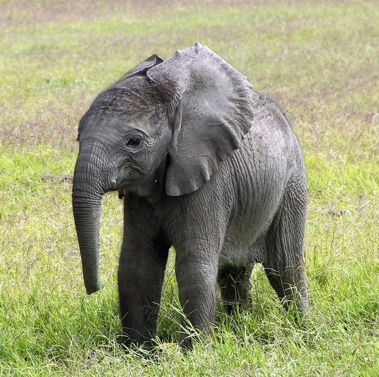 Elephant, Funny Elephant, African