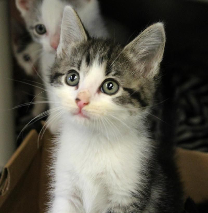 Adopt Sydney On With Images Cute Cats And Kittens Beautiful