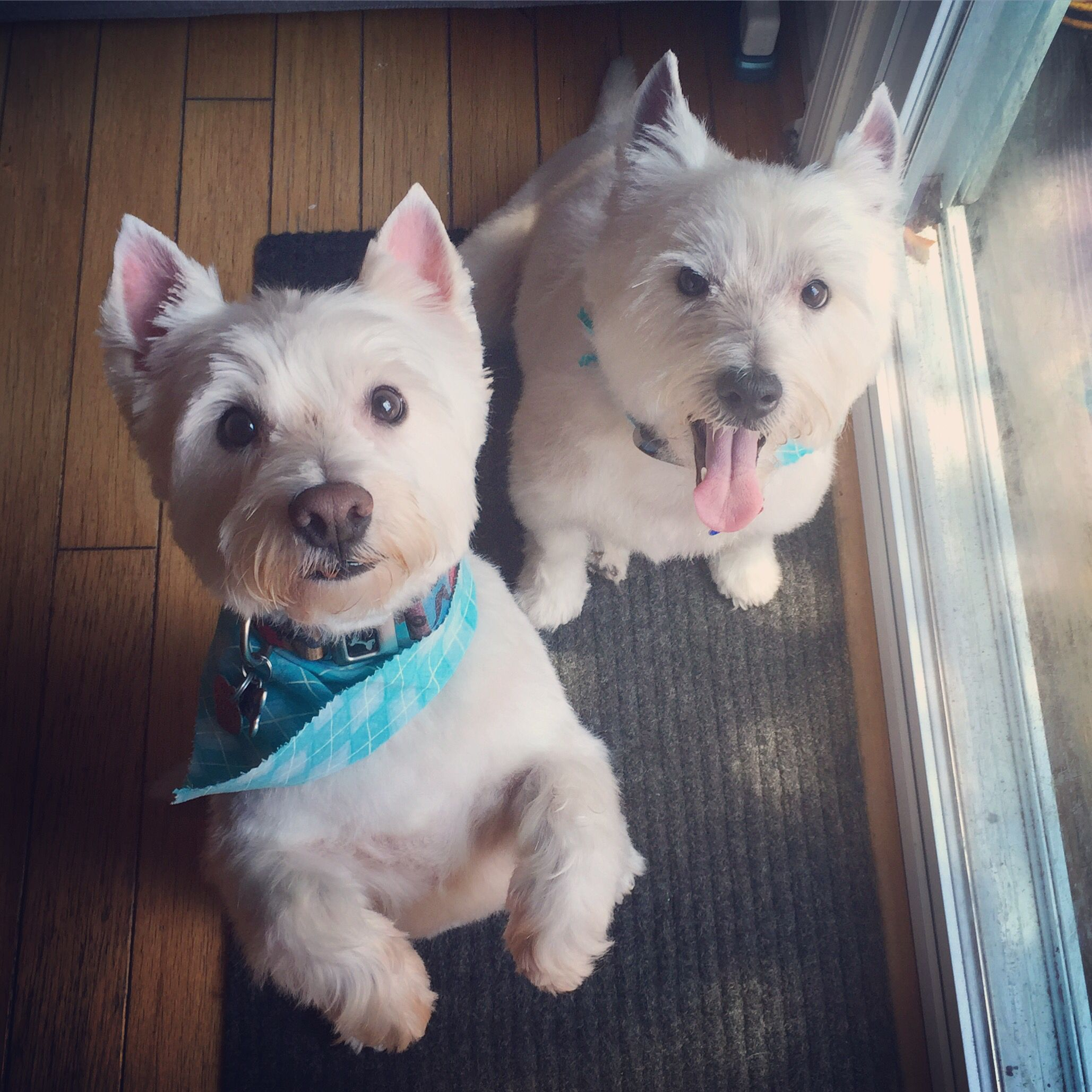 mobile grooming makes westie haircuts so easy and fun for the boys