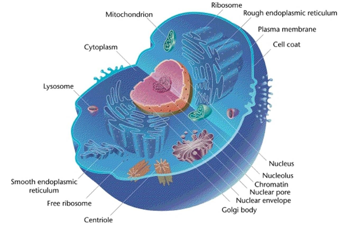 Eukaryotic Cell Labeled Simple