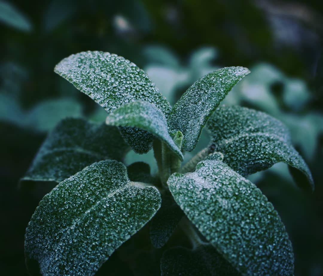 """. """"La vida es demasiado corta para esconder en nuestro corazón palabras importantes. Palabras como """"te amo"""". Son las contradicciones las que hacen crecer al amor. Son los conflictos los que permiten que el amor siga a nuestro lado. Pues el mayor objetivo de la vida es amar. El resto es silencio""""  Paulo Coelho – El manuscrito encontrado en Accra . . .  #Love #Amor #ToLove #Amar #Plant #Planta #Ice #Hielo #Frost #Escarcha #Cold #Frío #Leaves #Hojas #Leaf #Hoja #Wild #Naturaleza  #Forest #Bosque #G"""
