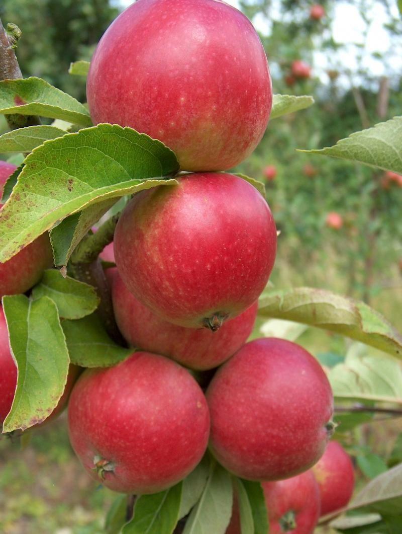 Worchester Pearmain Apples