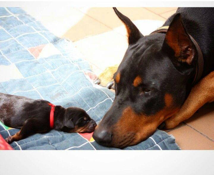 Pin By Shawna Knapp On Doberman 2 Doberman Dogs Dogs Beautiful