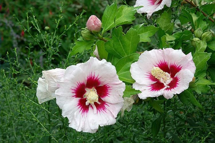 Comment cultiver l\'althéa (Hibiscus syriacus) | jardin ...