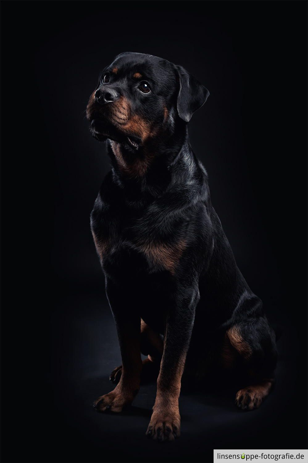 Rottweiler On Black Background This Is Balu A Young Rottweiler