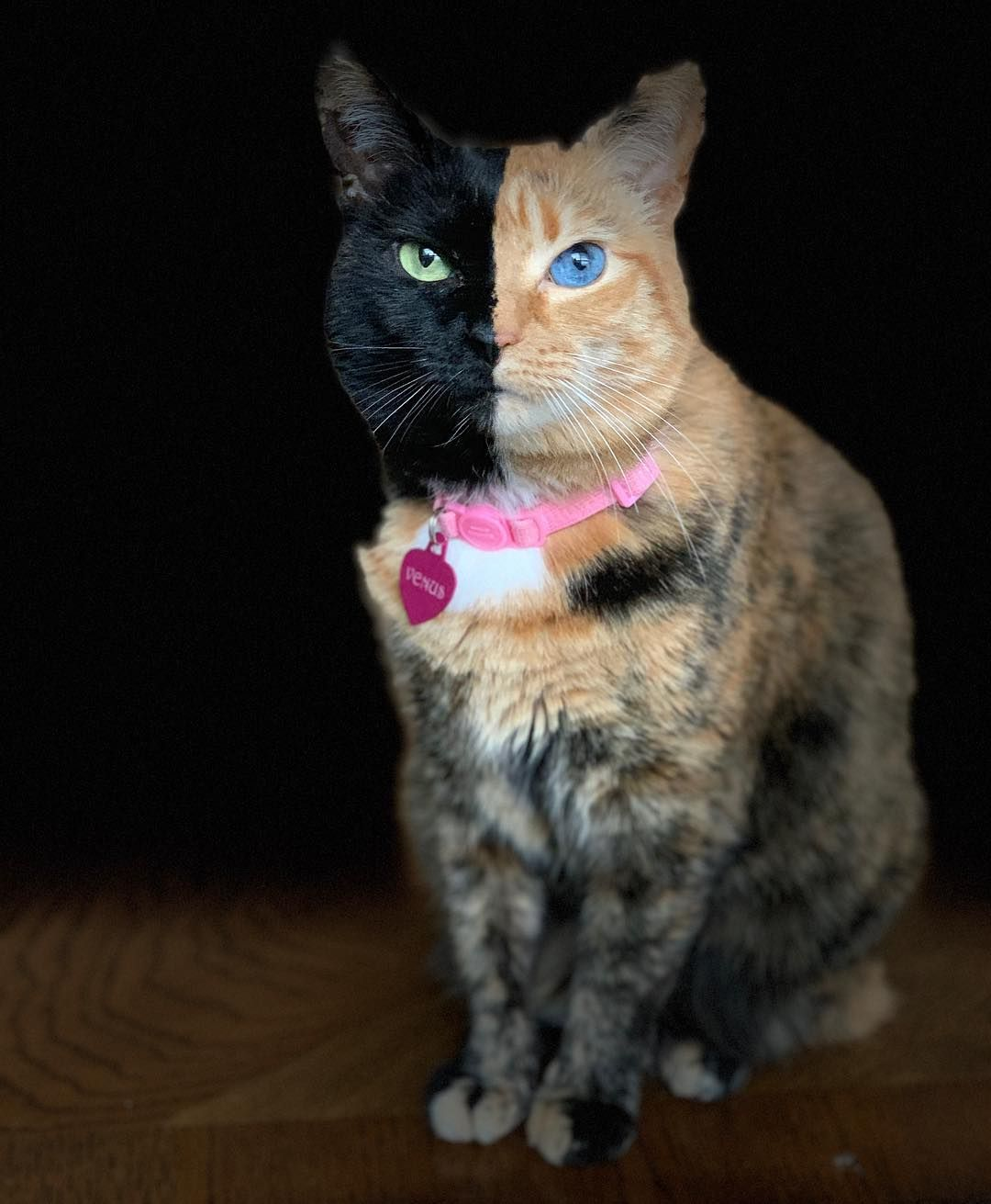 Venus The Two Face Cat On Instagram Stage Light Edit Tool Darkening Background Yay Or Nay Iphonexsmax Photoediting P Tabby Cat Orange Tabby Cats Cats