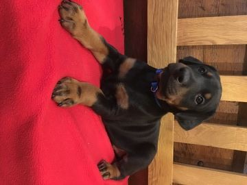 Doberman Pinscher Puppy For Sale In Broadwell Il Adn 21573 On