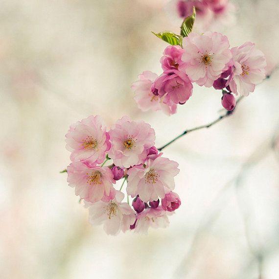 Cherry Photograph 5 X 5 Fine Art Photography Print Romantic Cherry Blossom Tree Pink White Sweet S Flowers Photography Cherry Blossom Wall Art Flowers