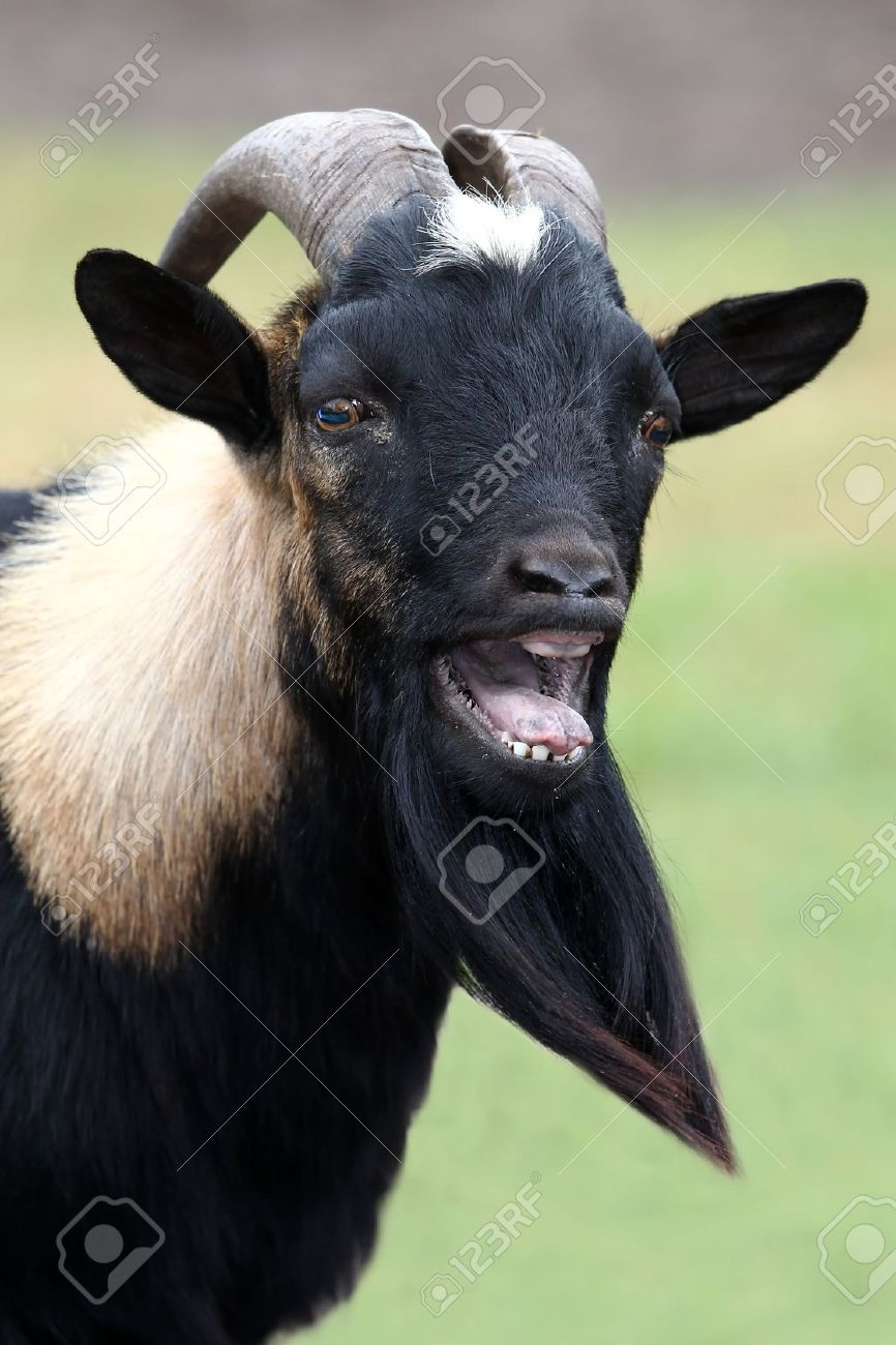12165753-Billy-goat-or-male-goat-with-long-beard-bleating-with-it ...