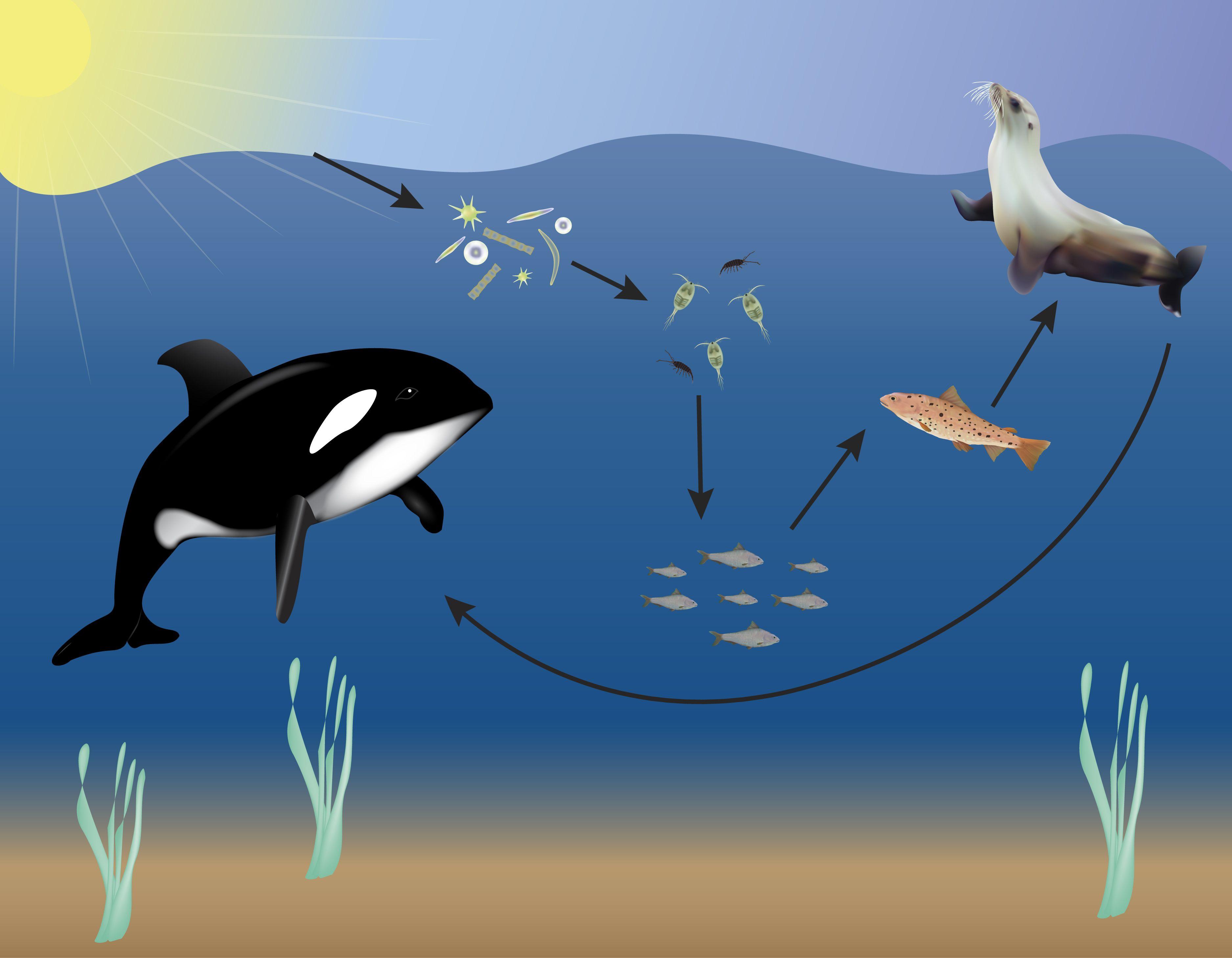 Ocean Food Web | Ocean food web, Ocean food, Ocean